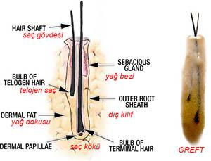 Saç kökleri