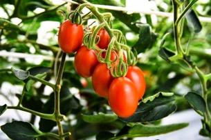 Evento storico: semaforo verde in Giappone per il pomodoro ottenuto da CRISPR/Cas9