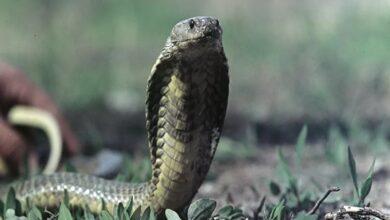 العلماء في صدمة.. ثعابين تنظم فخا كهربائيا للصيد بقوة 860 فولت