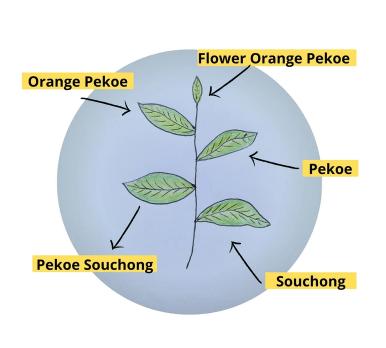Partes de la hoja del té