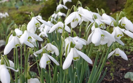 Snowdrop season at Altamont Gardens is a treat