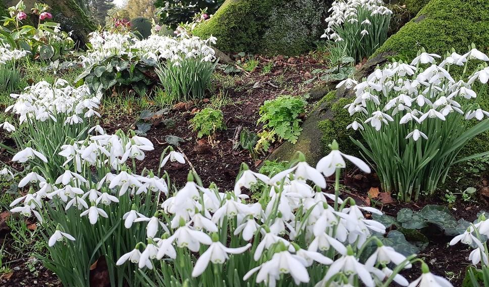 Snowdrops, Altamont Gardens, Co Carlow