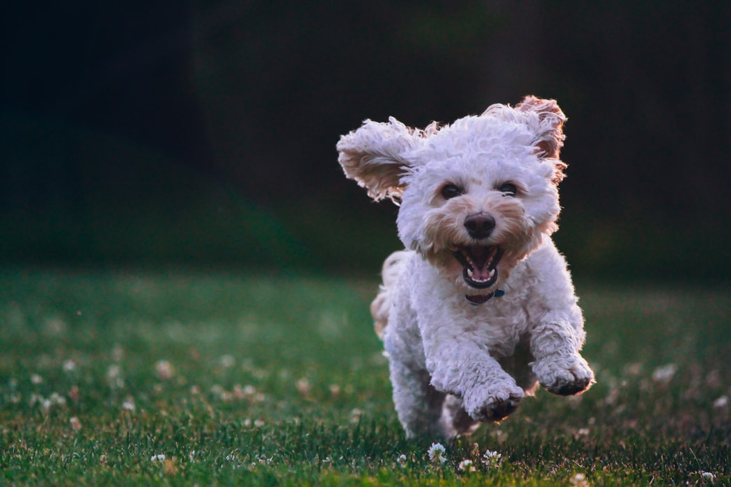 dog jumping over grass