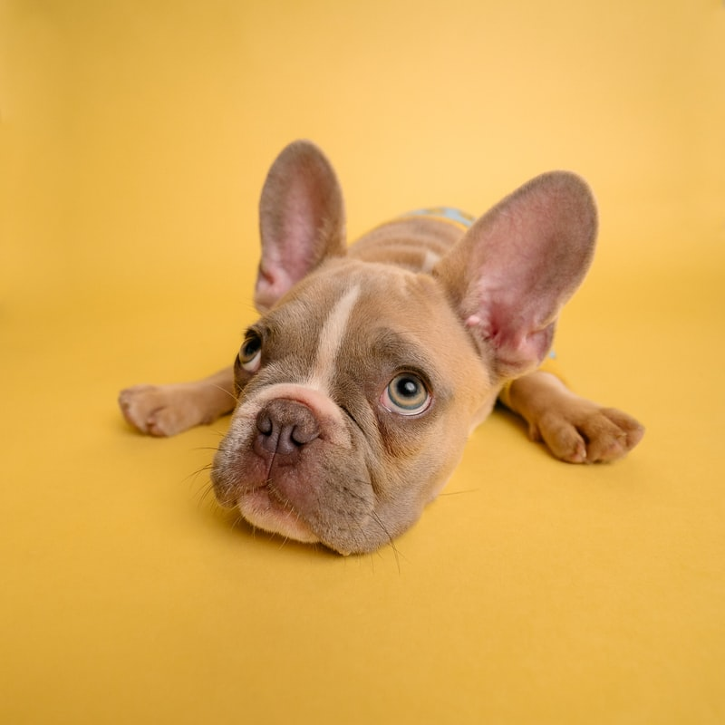french bulldog with a yellow background
