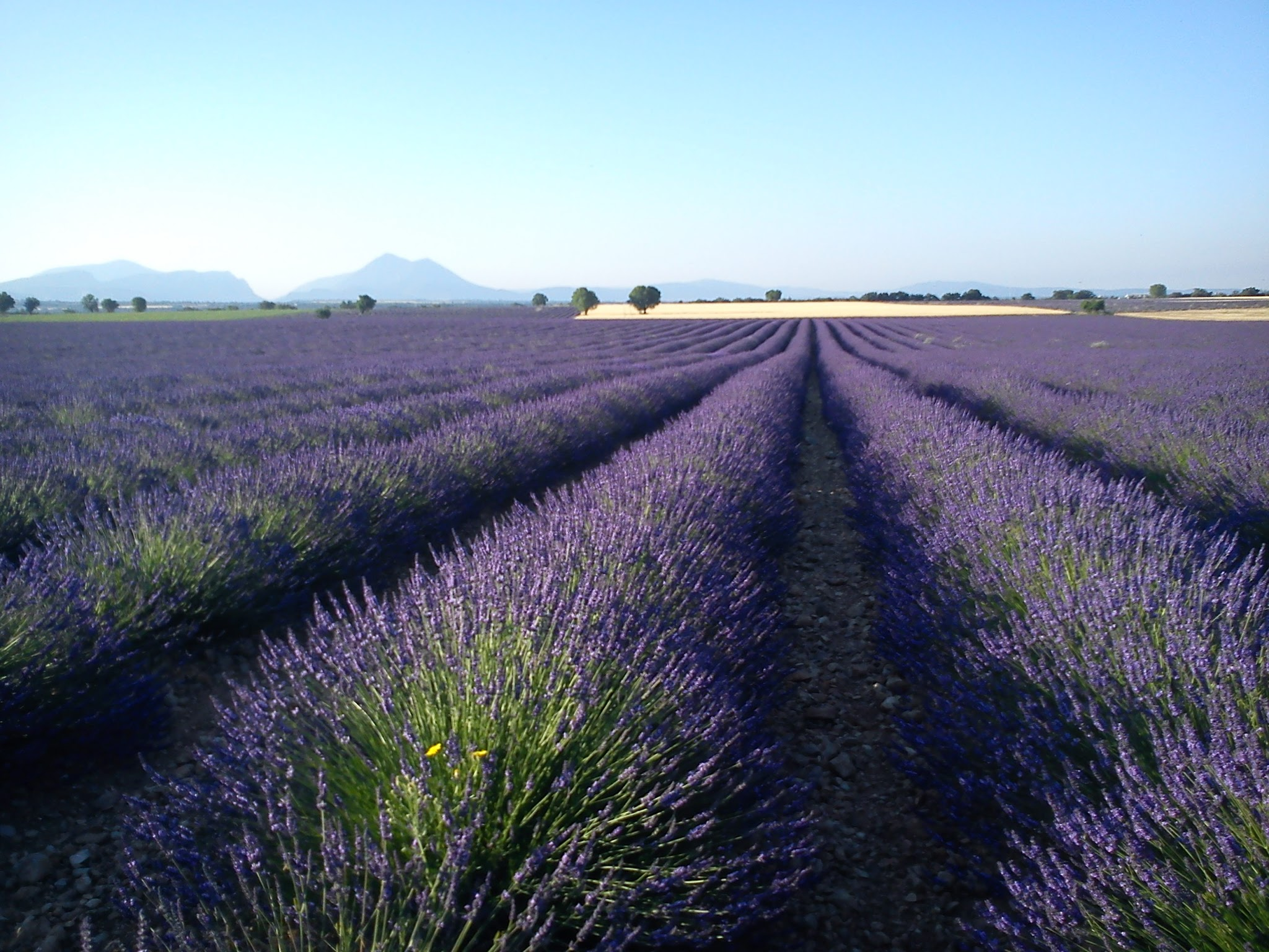 Cycling Through Lavender
