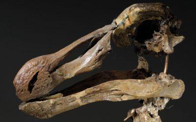 Dodo skeleton to auction at Christie's
