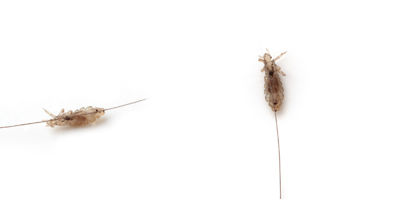 how to get ride of head lice