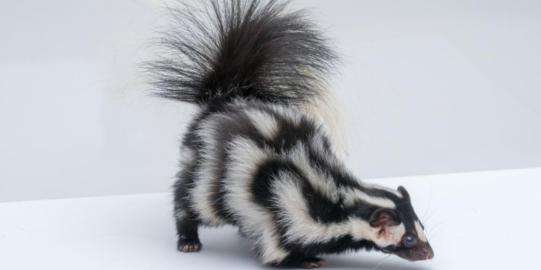 skunk smells