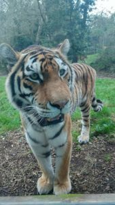 Tiger at Banham Zoo