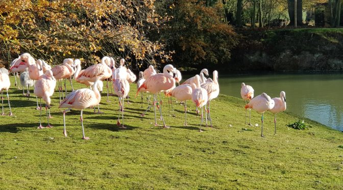 Flamingo flock at Banham Zoo