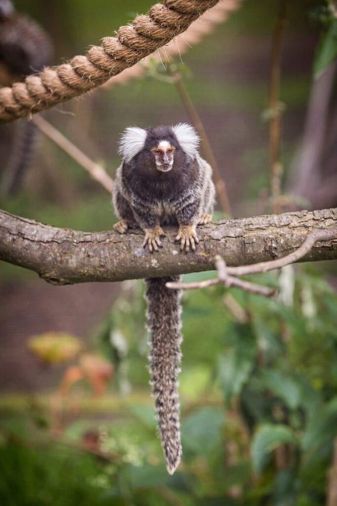 Marmoset Amazona Zoo