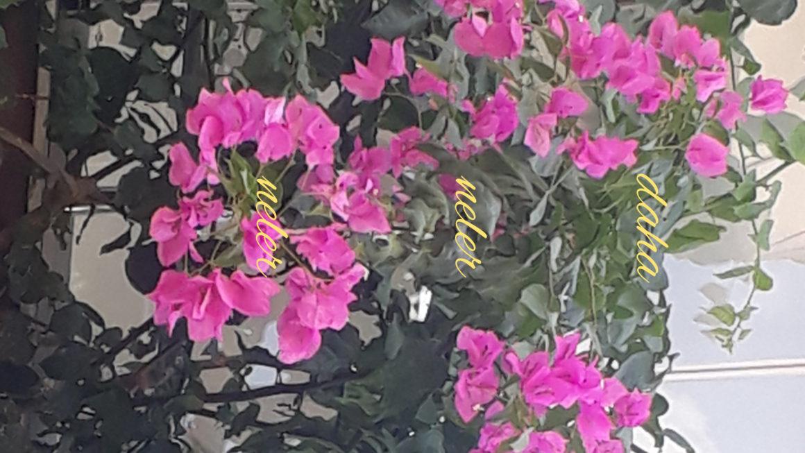 Bodrum evleri neden beyaz boyalı, mavi pencereli ve begonvil çiçekli?
