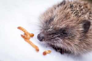 DON'T FEED HEDGEHOGS MEALWORMS!