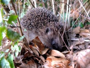 Found a hedgehog? PLEASE READ THIS