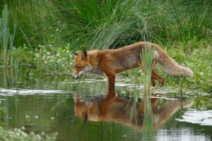 fox-1540833_1920