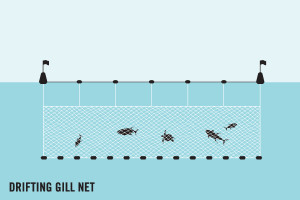 Fishing by drifting gillnet graphic