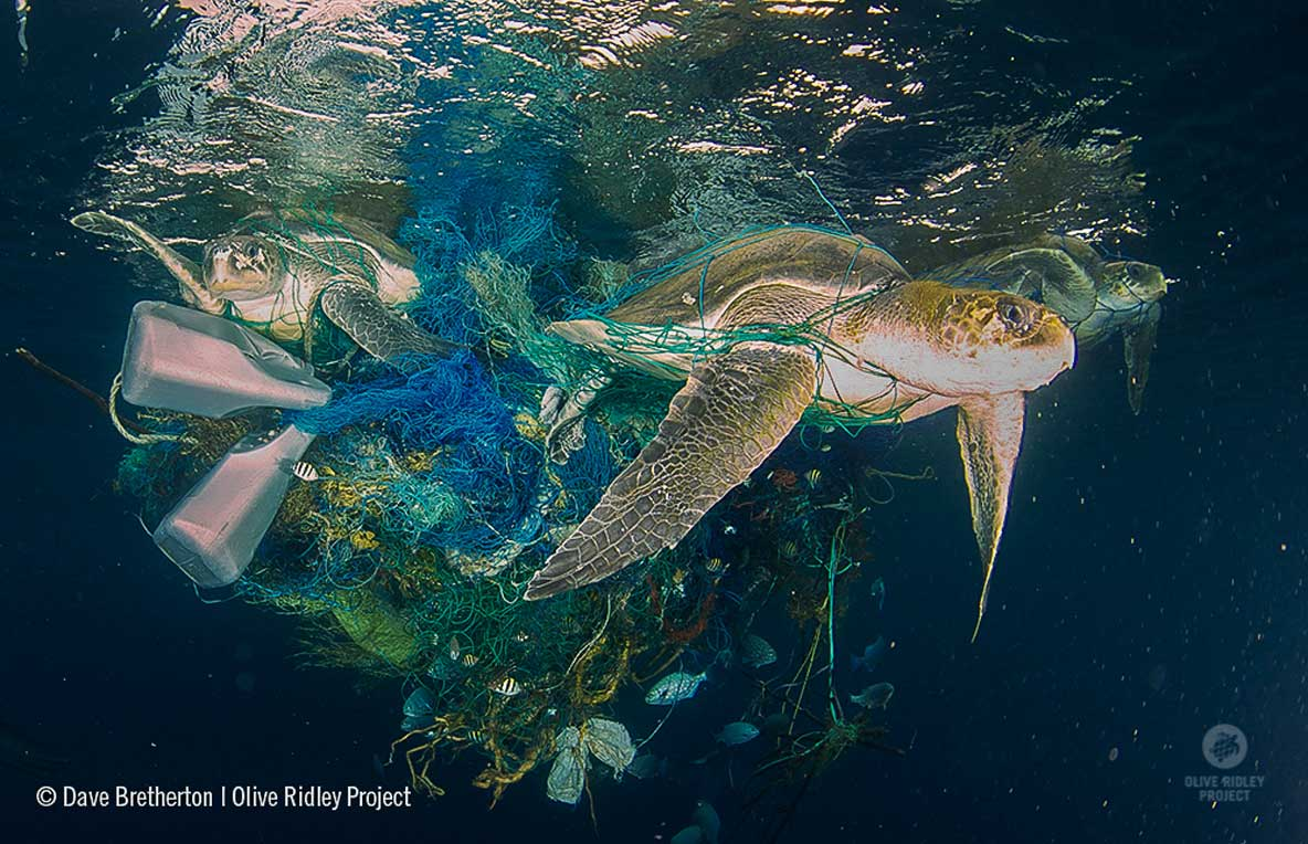 Ghost net with three entangled olive ridely sea turtles in Maldives