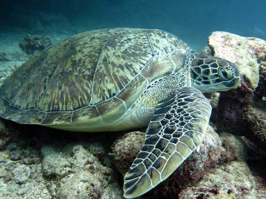 An adult green turtle resting on a reef in Maldives, image