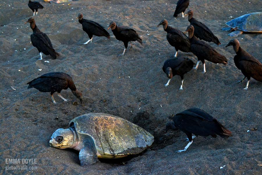 Vultures pray on olive ridley turtle eggs Orissa India. Image