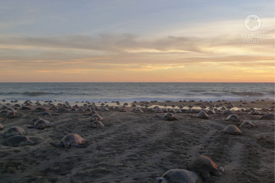 How many sea turtles are left? One method of estimating turtle populations is to measure the annual number of nesting events in a population. Olive ridley arribada nesting event in Michoacan Mexico; image