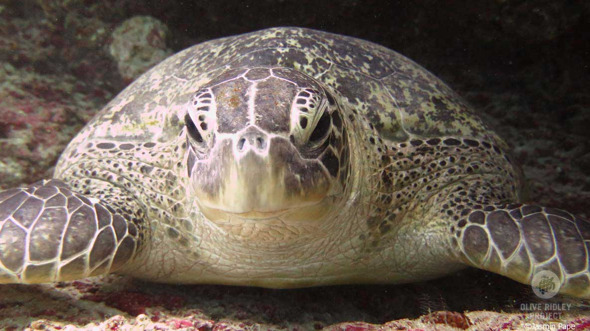 Close up of a green sea turtle Maldives Indian Ocean