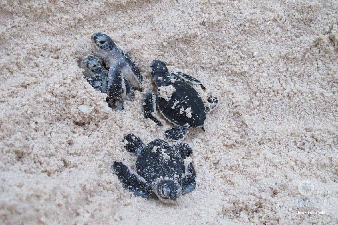 Green turtle hatchlings in the Maldives emerge from their nest after between 49 and 62 days, image
