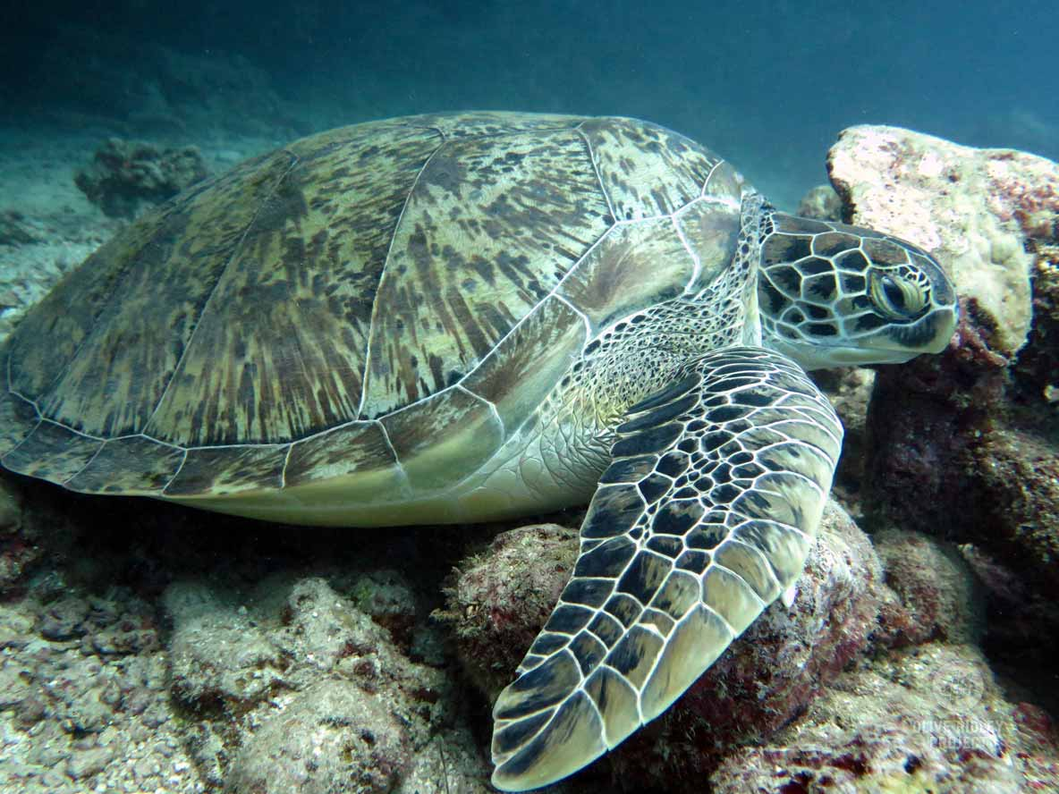 Green sea turtle resting on a reef Maldives