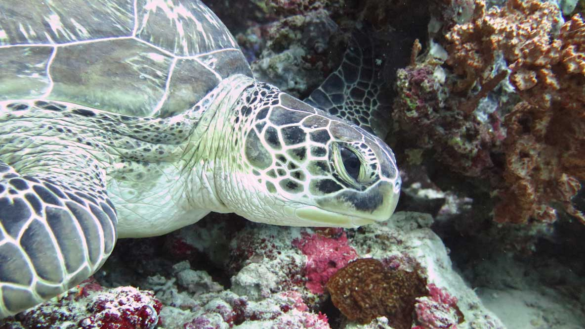 Green turtle Clio identified by ORP Turtle Photo-ID Maldives