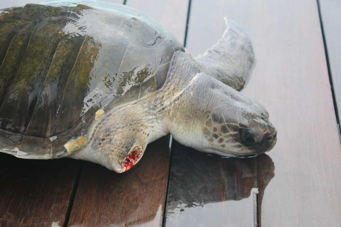 Olive ridley turtle lost front right flipper due to ghost net Maldives