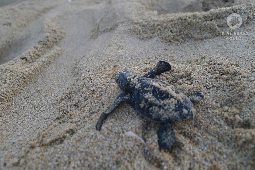 Olive ridley turtle hatchling leaving the nest. Image