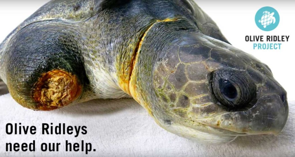 Olive ridley sea turtle missing front right flipper ghost net victim threats to sea turtles