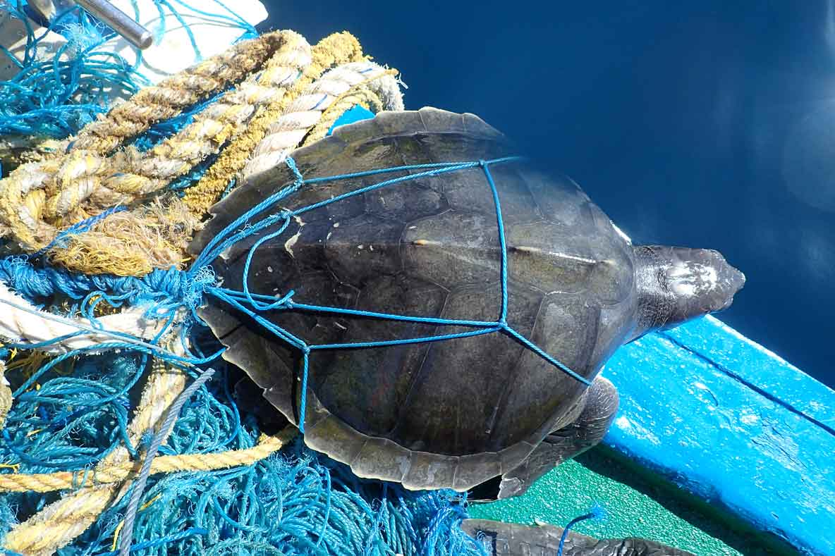 Entangled olive ridley turtle on a boat after being rescued in Maldives. Image.