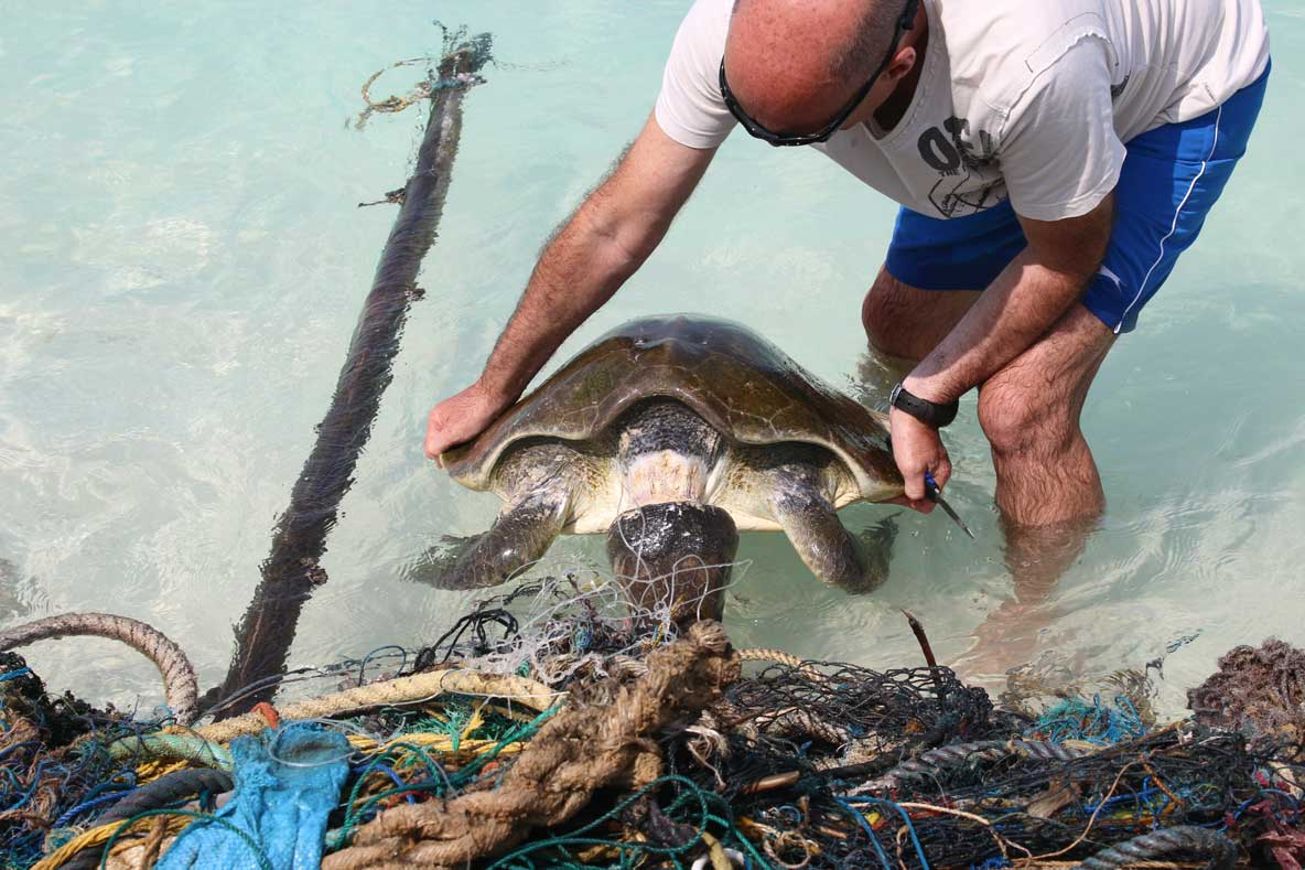 Olive ridley sea turtle with neck almost severed being freed from ghost net Maldives Indian Ocean threats to sea turtles