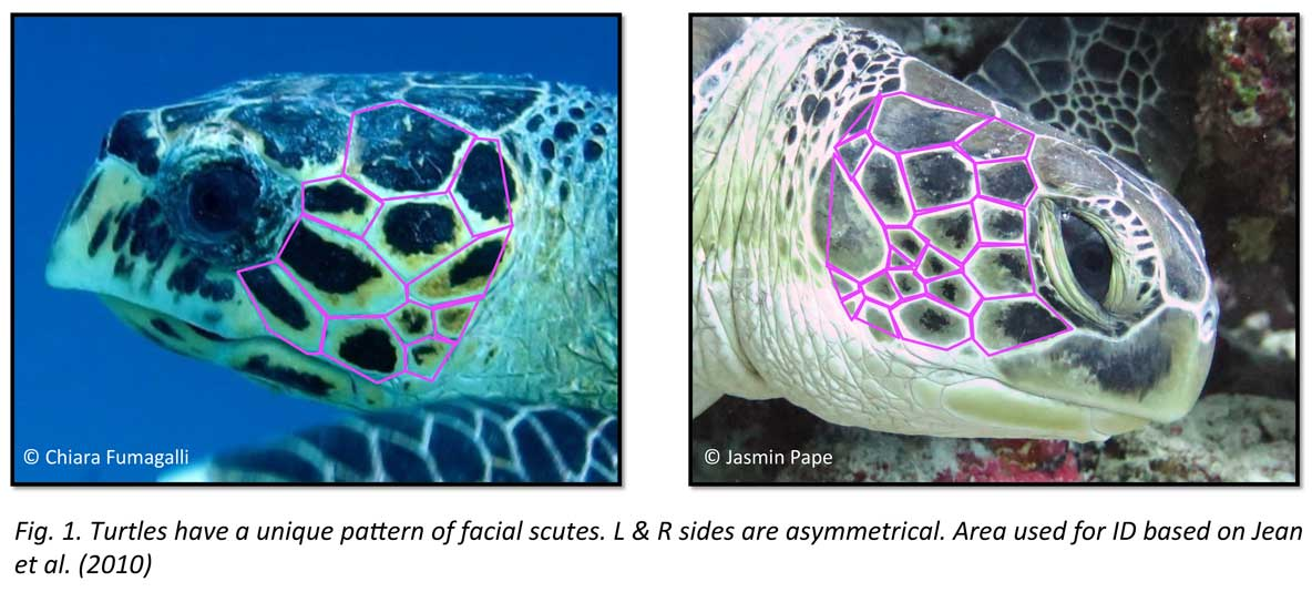 Graphic showing the unique facial scales of two turtles