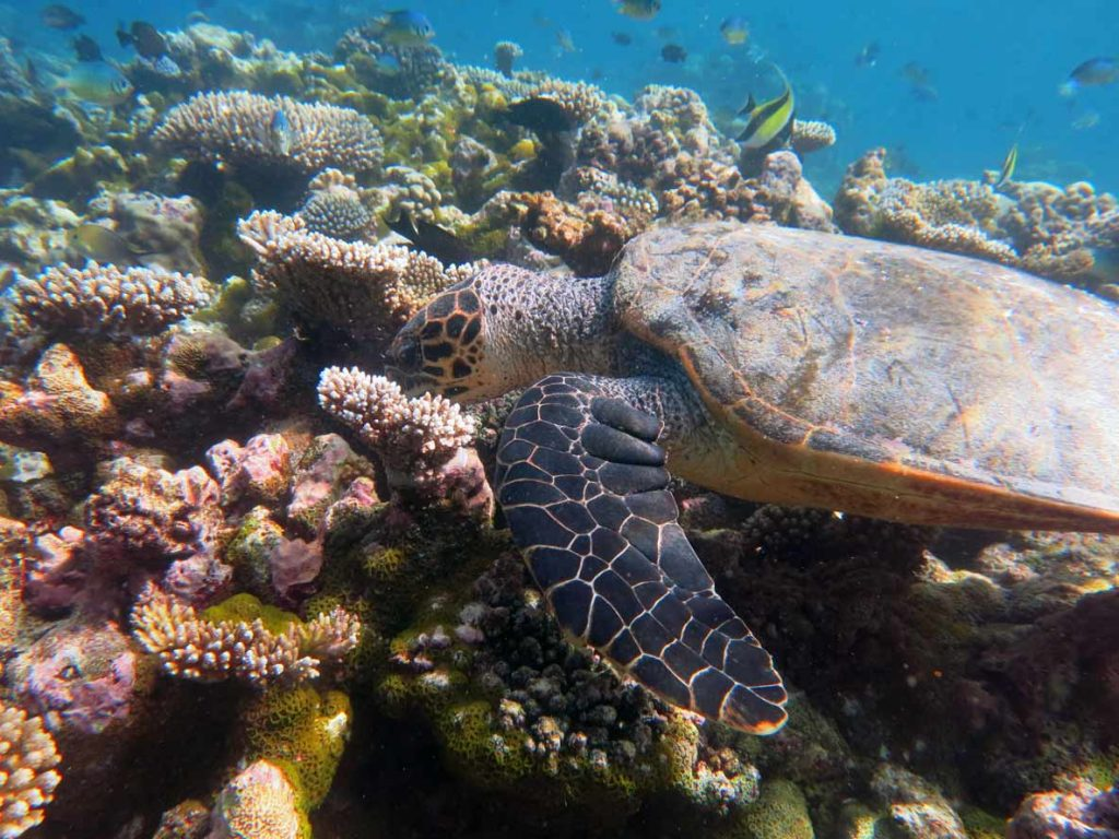 A hawksbill turtle having a bite to eat on a coral reef, Maldives. Marvin, hawksbill turtle Maldives. Image.