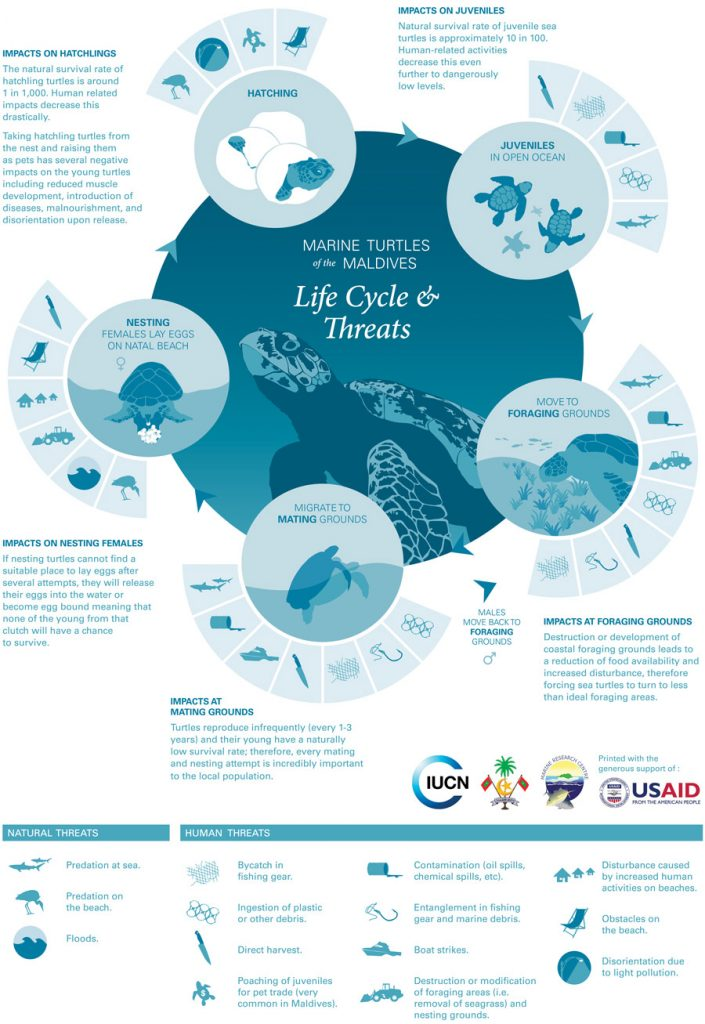 Graphic showing the life cycle of sea turtles and the threats they face
