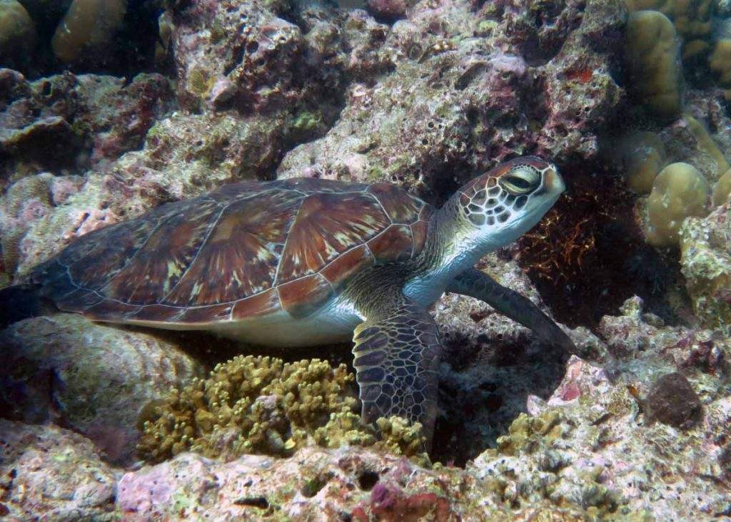 green turtle Lhaviyani Atoll a green turtle hot spot