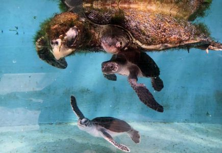 Solitary Sea Turtles Making Friends At Rescue Centre