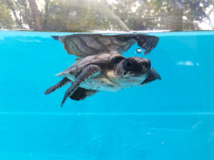 Hope-Olive-Ridley-turtle-baby-ORP-rescue-centre-Maldives