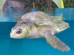 Olive ridley turtle Penny, the longest serving patient at the rescue centre