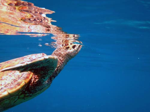 Sea turtle coming up to breath
