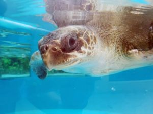 Ghost gear victim Olive ridley turtle Chouchou recovering in the rescue centre tank Maldives