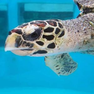 Critically Endangered juvenile hawksbill turtle Dhooni left side photo-id