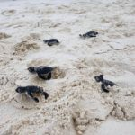 Daytime green turtle hatchlings Coco Palm Dhuni Maldives