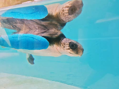 Turtle patient Eve recovering in her tank, ORP Rescue Centre Maldives