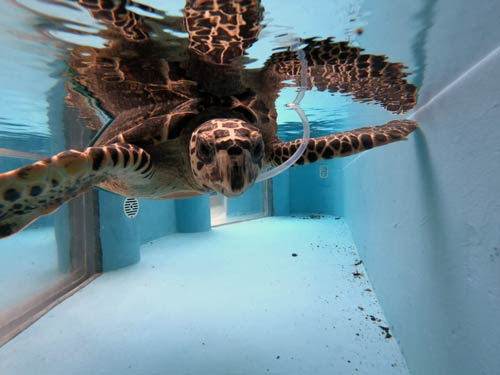 Turtle patient Cocoa recovering in her tank at Olive Ridley Project Turtle Rescue Centre Maldives