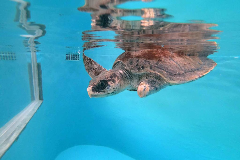 Ghost get victim olive ridley turtle Daniella swimming in the tank at ORP Turtle Rescue Centre Maldives