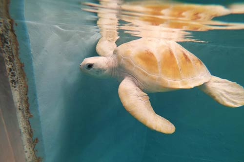 Green leucistic turtle Cloud in the tank at ORP Turtle Rescue Centre Maldives