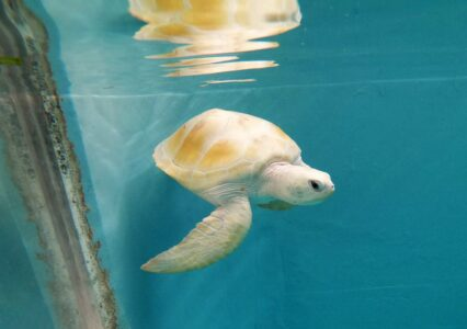 A Miracle of Nature: Cloud, the Rare White Turtle