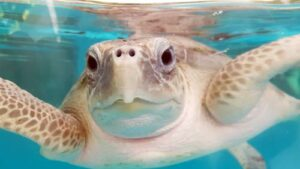 Turtle patient Chrissi fully recovered and ready to be released